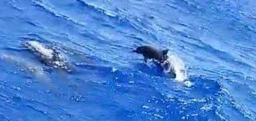 golfiños dando brincos